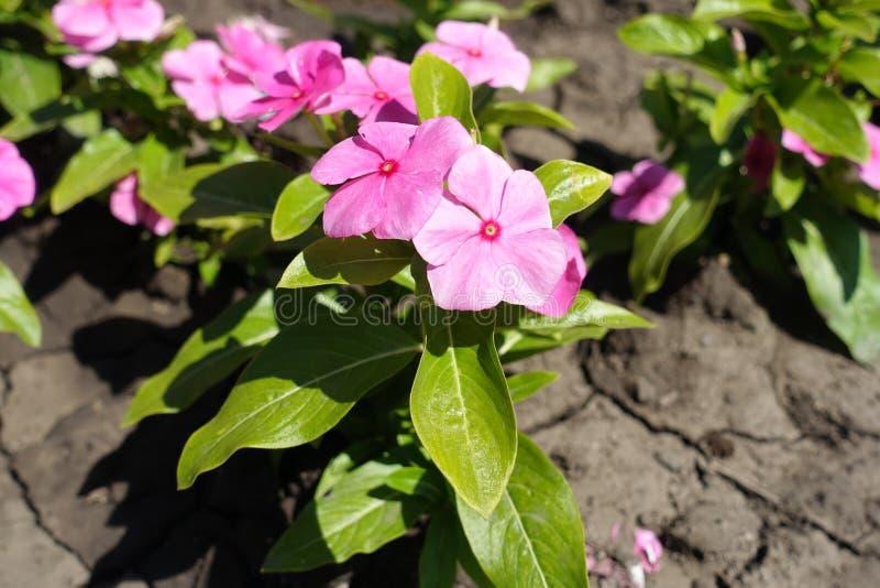 Zakończenie strzał Catharanthus roseus z różowymi kwiatami obrazy royalty free