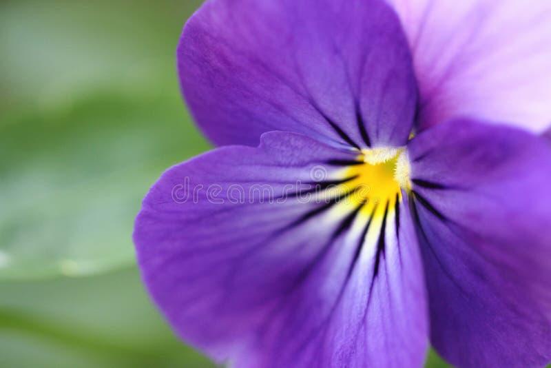 Zakończenie strzał piękny fiołkowy purpurowy pansy kwiat zdjęcie stock