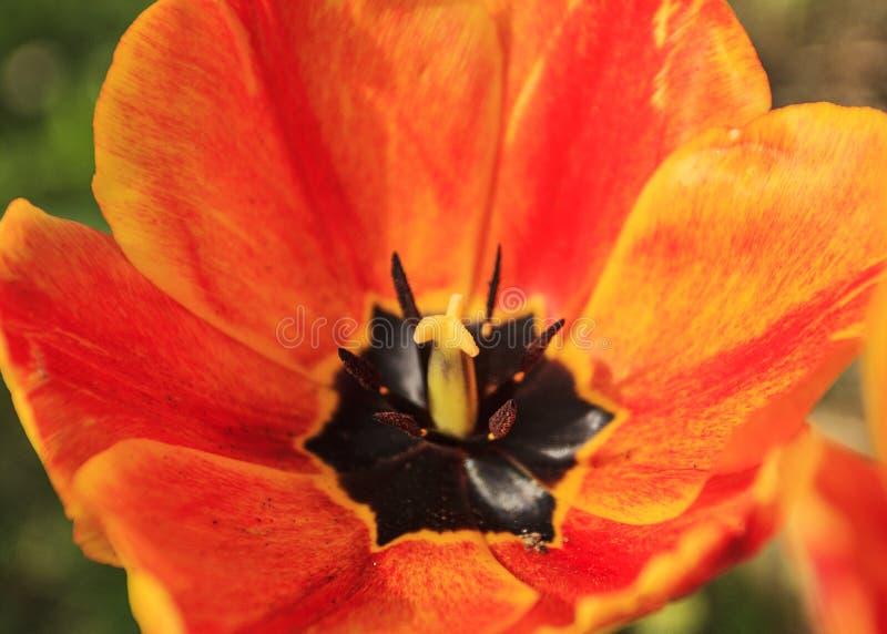 Zakończenie strzelający przy tulipanem fotografia royalty free