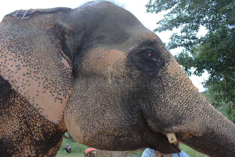 Zakończenie strzelający słoń w India obrazy royalty free