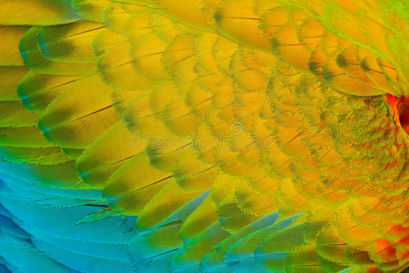 Zakończenie szczegół papuzi upierzenie Szkarłatna ara, arony Macao, szczegół skrzydło, natura Costa Rica zdjęcia royalty free