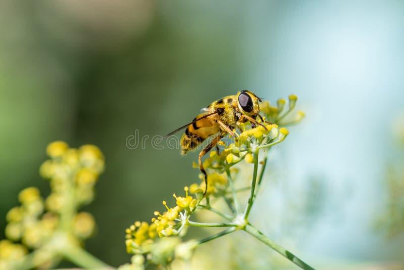 Zakończenie szczegół zbiera pollen od fenne miód pszczoły apis zdjęcia royalty free