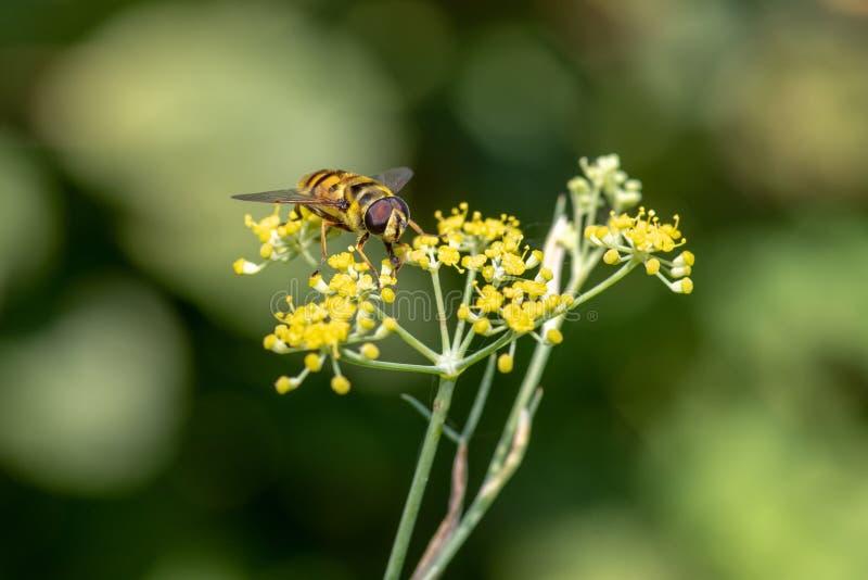 Zakończenie szczegół zbiera pollen od fenne miód pszczoły apis fotografia stock