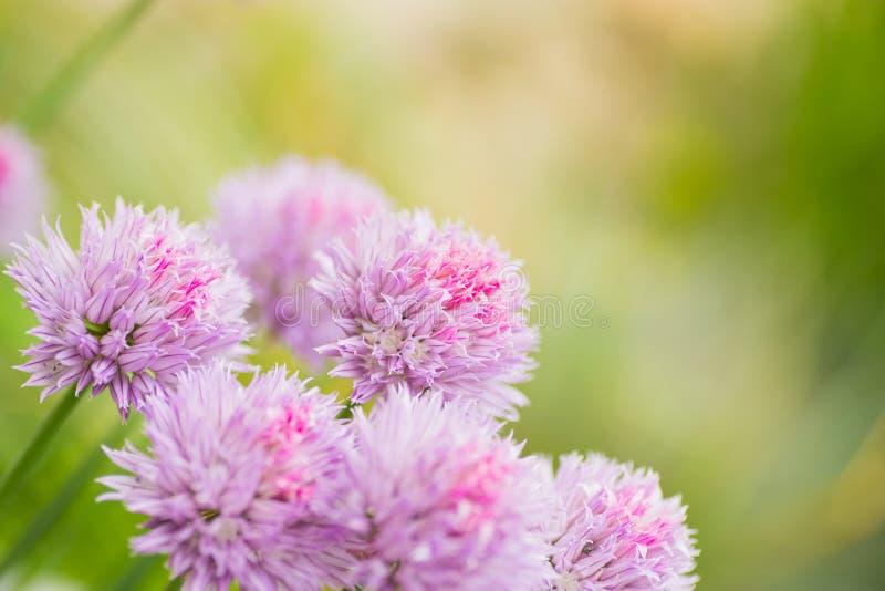 Zakończenie szczypiorków cebul menchia przewodzi plenerowego w ogródzie na zieleń zamazującym tle obraz royalty free