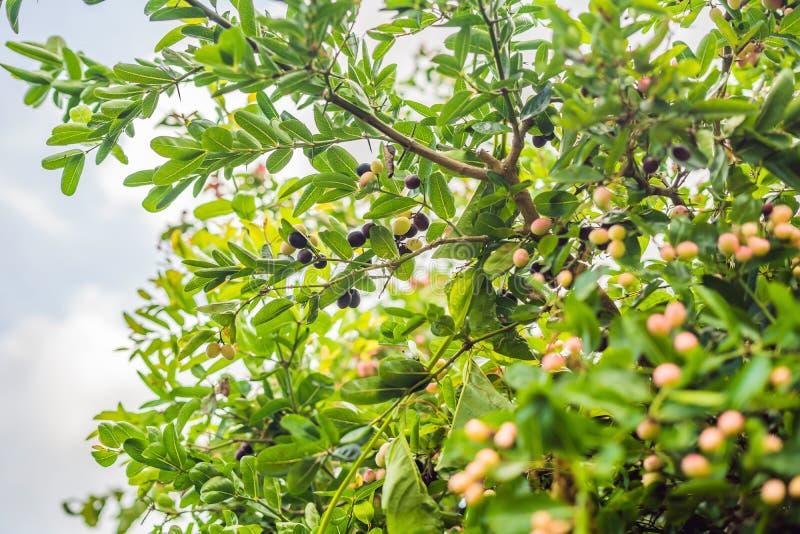 Zakończenie trzy cud jagody od Synsepalum dulcificum p fotografia royalty free