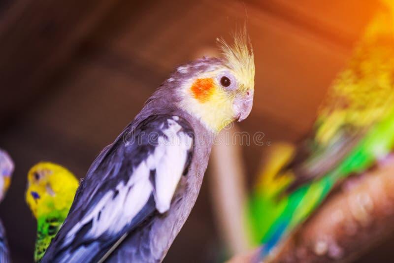 Zakończenie trzy piękna papuga obraz royalty free