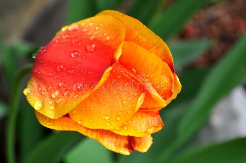 Zakończenie up żółta czerwona pomarańczowa tulipan głowa z deszcz kroplami i rosa na płatkach zdjęcia stock