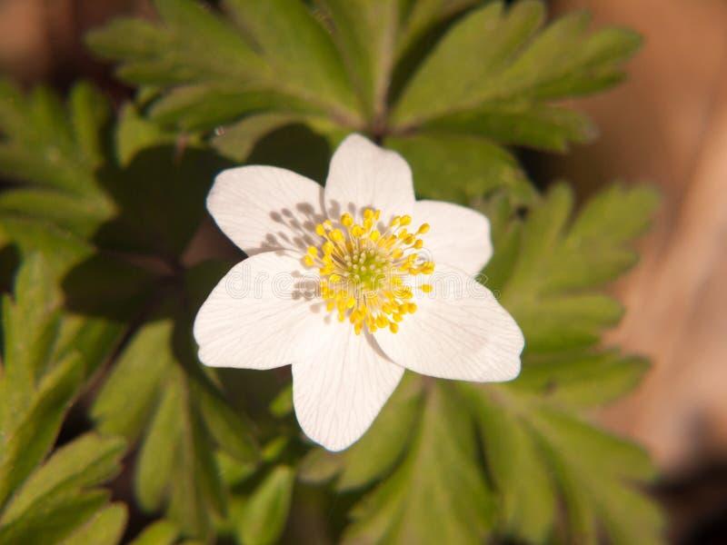 zakończenie up białych drewnianego anemonu kwiatu płatków piękna wiosna zdjęcia stock