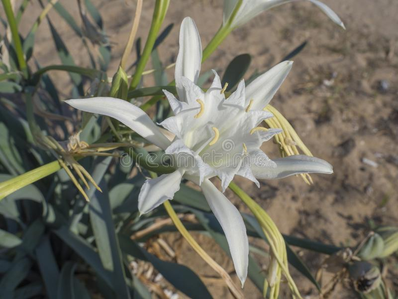 Zakończenie up bielu Pancratium maritimum kwiat także znać jako denna daffodil lub piaska leluja od Amaryllidaceae rodziny, zdjęcia stock