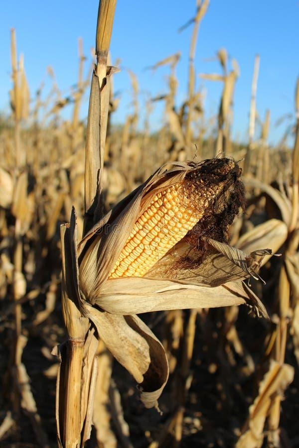 Zakończenie Up Dojrzewający ucho kukurudza w Kukurydzanym polu zdjęcia stock