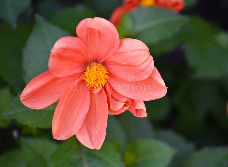 Zakończenie up menchie i Żółty kwiat zdjęcie royalty free