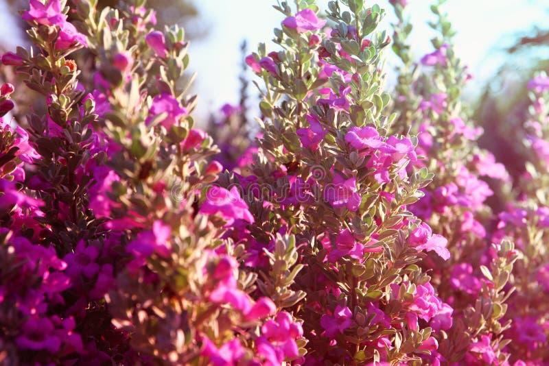 Zakończenie up menchii pole kwiaty, wizerunek jest rocznikiem filtrującym obrazy stock