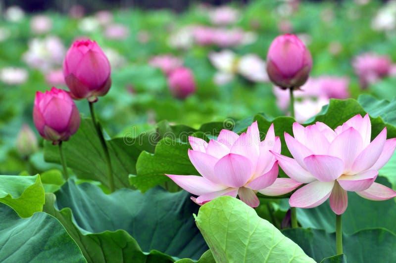 Zakończenie up okwitnięcie menchii lotosowy kwiat w stawie fotografia royalty free