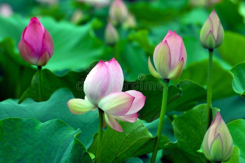 Zakończenie up okwitnięcie menchii lotosowy kwiat w stawie zdjęcia stock