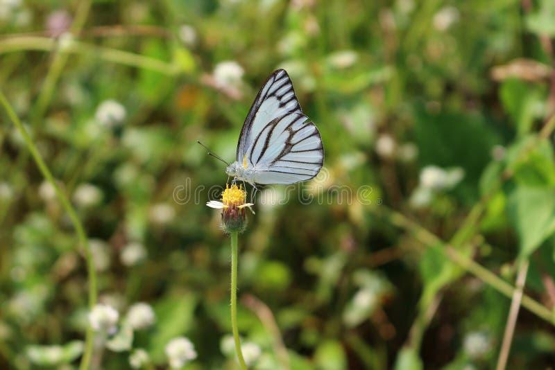 Zakończenie up Pasiasty albatrosa motyl na świrzepa kwiacie obraz stock