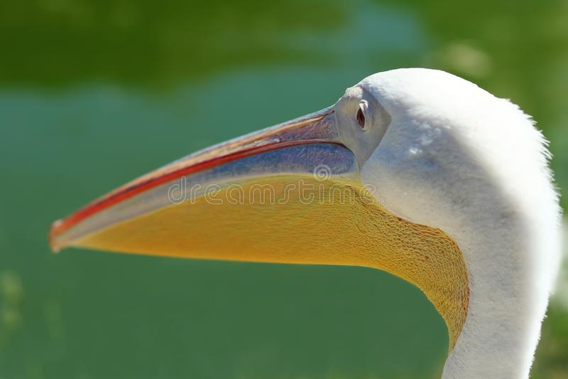 Zakończenie up pelikana ` s głowa, profilowy portret obrazy stock
