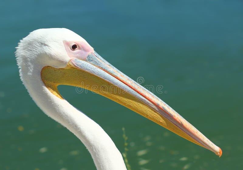 Zakończenie up pelikana ` s głowa przeciw jezioru, profilowy portret zdjęcie stock