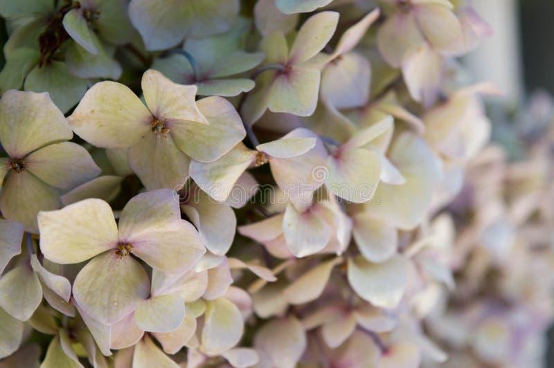 Zakończenie up piękny jasnożółty hortensi okwitnięcie z purpurowymi płatkami fotografia stock