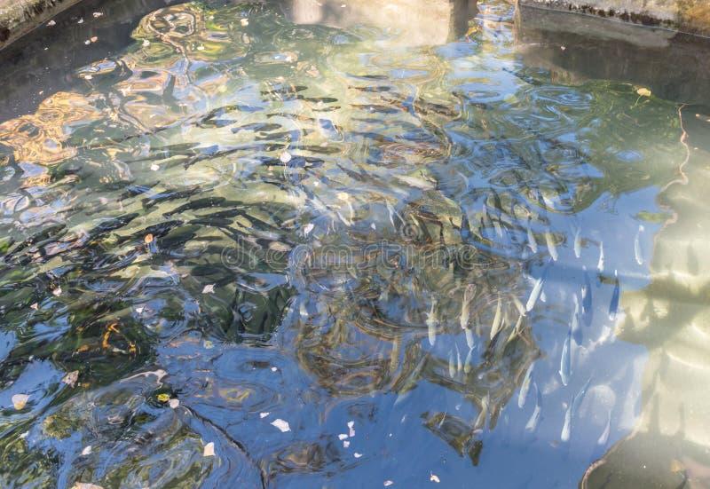 Zakończenie up pstrąg ryba w sztucznym stawie fotografia royalty free