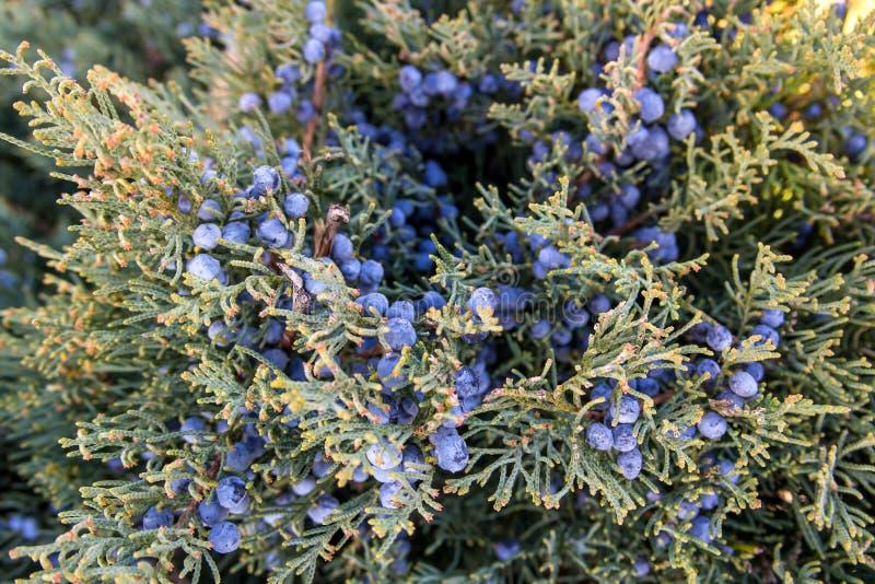 Zakończenie up rożek Juniperus excelsa, powszechnie dzwoniący Grecki jałowiec - jak - fotografia royalty free