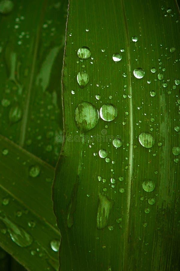 Zakończenie up rosy wodna kropelka na zielonej kukurudzy liściu obraz royalty free
