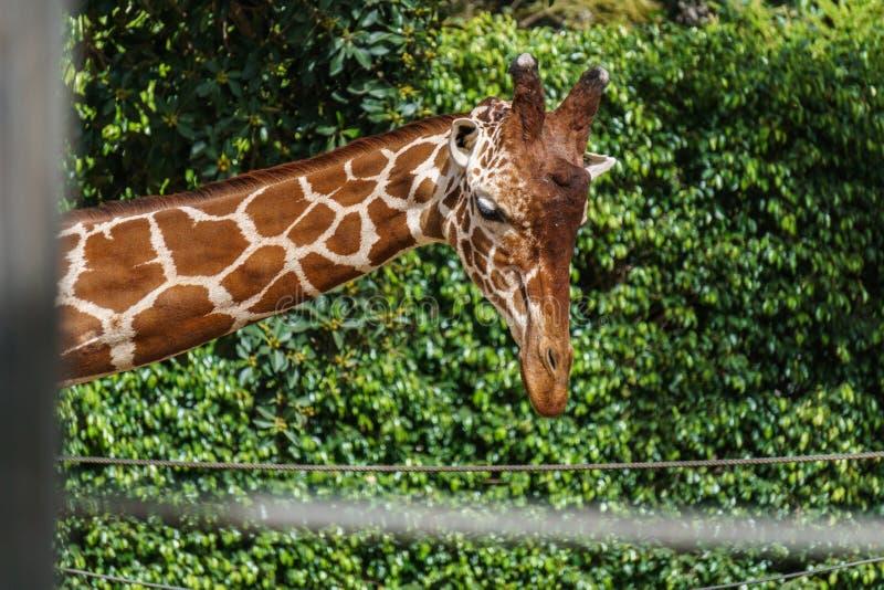 Zakończenie up strzelał żyrafy głowa na zielonym tle w zoo zdjęcia stock