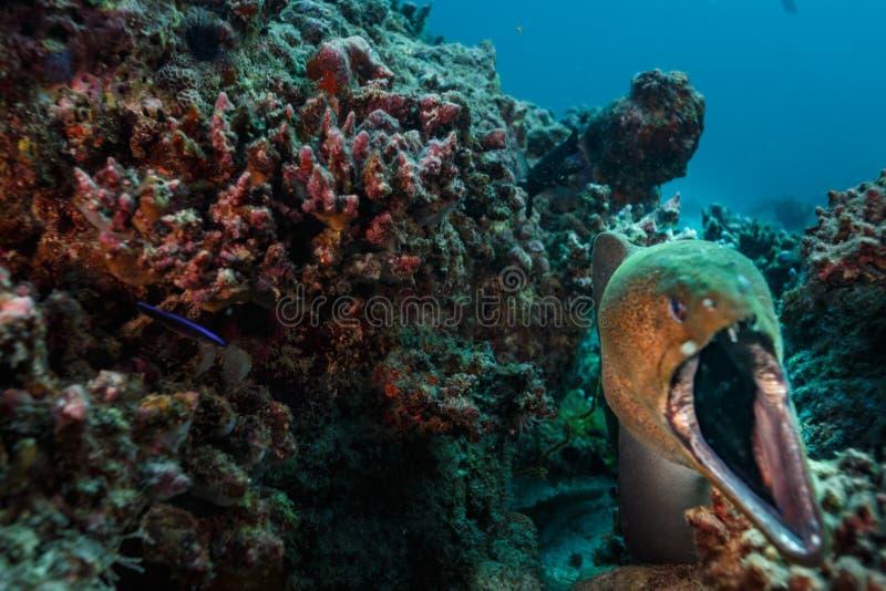 Zakończenie up wielki murena węgorz wyłania się od koralowej jamy z usta szeroko otwarty fotografia stock