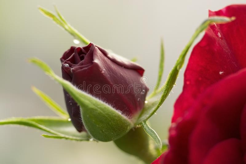 Zakończenie w górę ładnego pączka czerwieni róża obrazy royalty free
