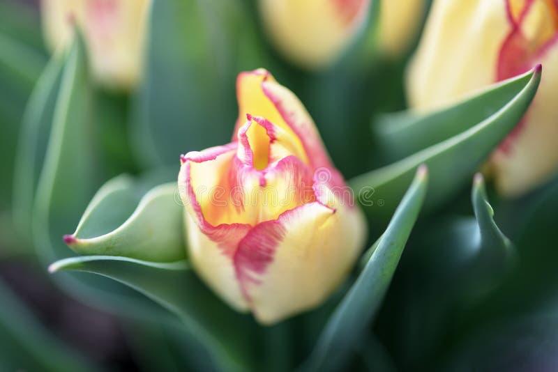 Zakończenie - w górę żółtego Holenderskiego tulipanu w ogródzie z tulipanami obrazy stock