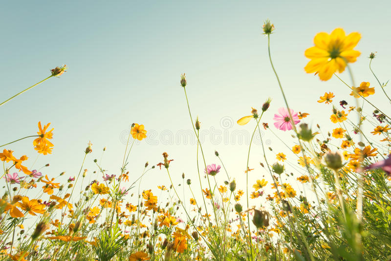 Zakończenie w górę żółtego kosmosu kwitnie na naturalnym niebieskiego nieba tle Fr obraz stock