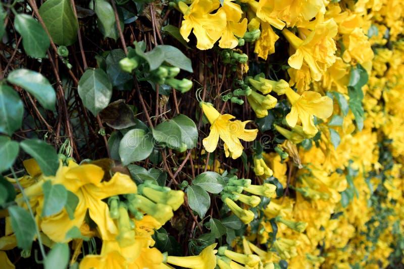 Zakończenie w górę żółtego kwiatu kota pazura pełnego kwiatu obraz stock