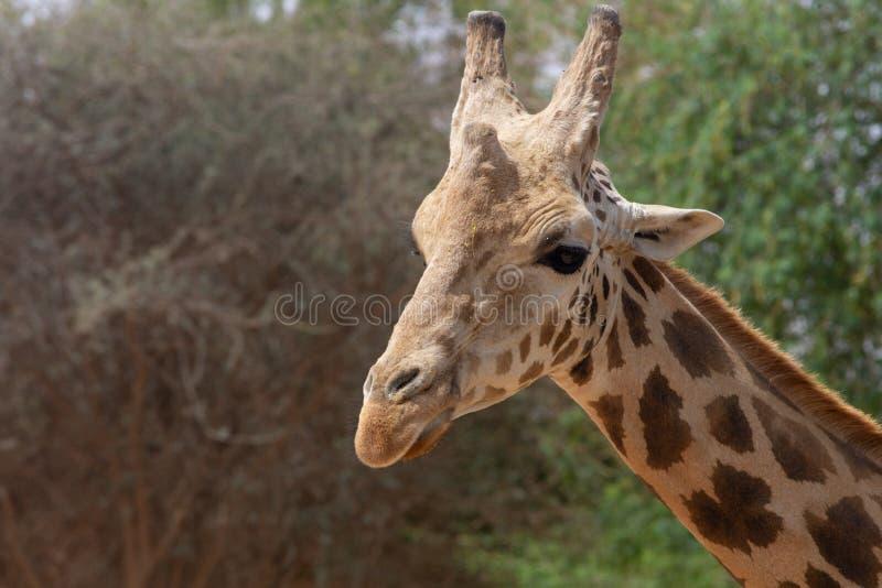 Zakończenie w górę żyrafy głowy giraffa z zielonymi krzakami w tle zdjęcie stock