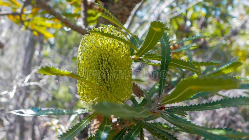 Zakończenie w górę banksia okwitnięcia, rodzimy australijski kwiat obrazy royalty free