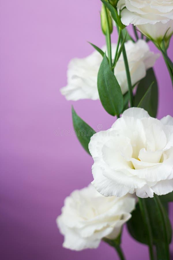 Zakończenie w górę białego eustoma kwitnie na purpurowym tle obraz royalty free