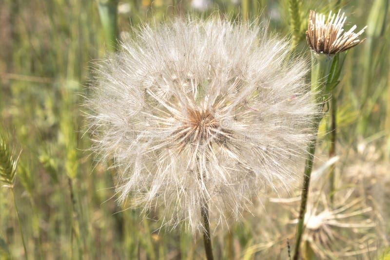 Zakończenie w górę białego puszystego dandelion w zieleni polu, makro-, lato obrazy royalty free