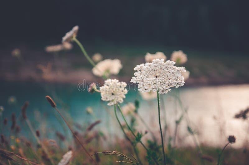 Zakończenie w górę białych leczniczych ziele kwitnie w góry polu fotografia royalty free