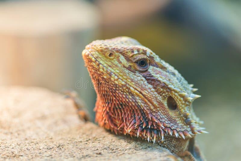 Zakończenie - w górę brodatego Agama w terrarium, widok zdjęcie royalty free