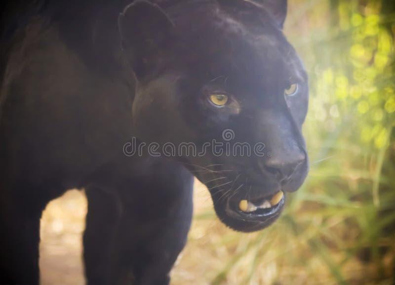 Zakończenie W górę Czarnej pantery, Panthera onca obrazy royalty free