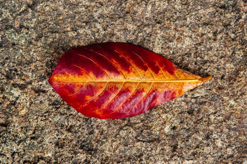 Zakończenie w górę czerwonego żółtego jesień liścia szczegółu z żyłami na rockowej podłodze - natura liścia abstrakta tło zdjęcie royalty free