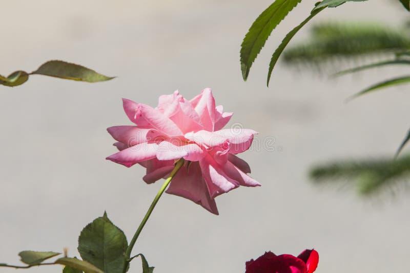 Zakończenie w górę Damaszkuje różanego w pełnym okwitnięciu z zielonymi liśćmi na ładny jasnopopielatym - brązu tło fotografia stock