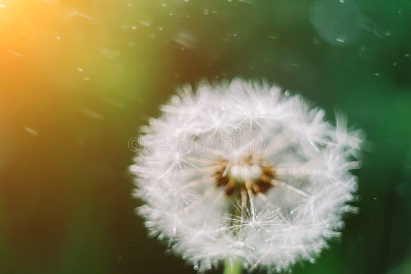 Zakończenie w górę dandelion ziaren w ranku świetle słonecznym dmucha daleko od przez świeżego zielonego tło fotografia stock