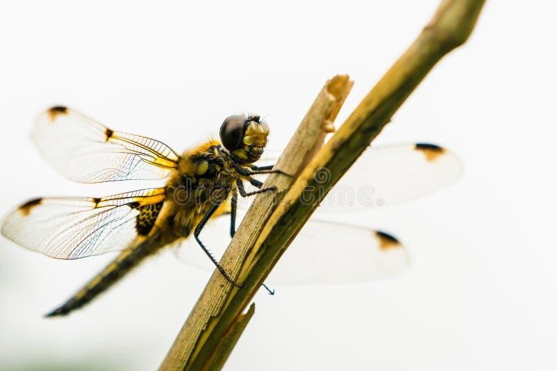 Zakończenie w górę Dostrzegającego łowców Dragonflies Libellula quadrimaculata i wysokość klucza spod spodu fotografia stock