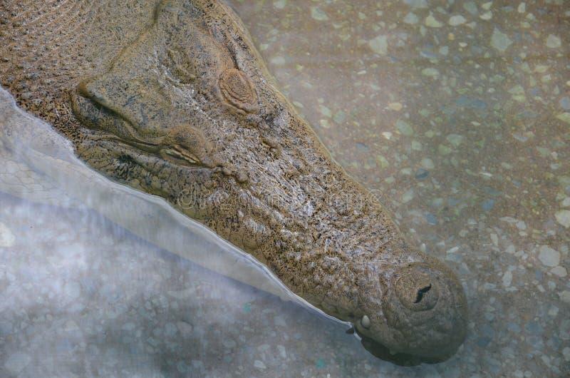 Zakończenie w górę dużego starego krokodyla czaije się w jasnej wodzie przy krokodyla gospodarstwem rolnym na widok fotografia stock