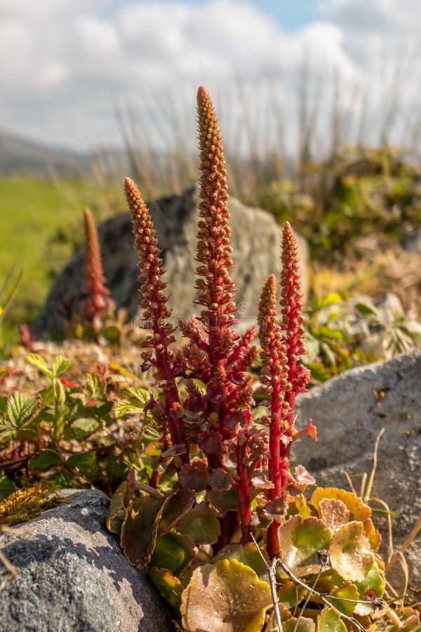 Zakończenie w górę dzikich łubinów r w Burrne parku narodowym, Irlandia obraz royalty free