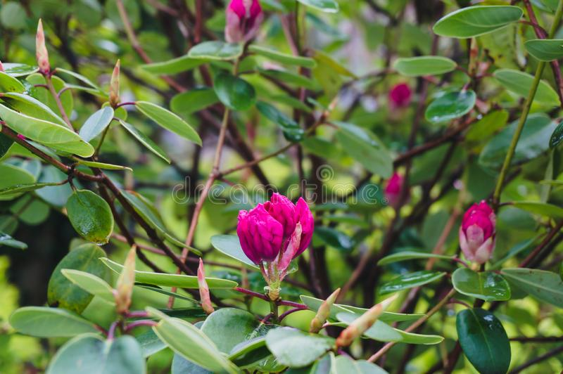 Zakończenie w górę jaskrawego różowego kameliowego kwiatu na gałąź w ogródzie zdjęcia stock