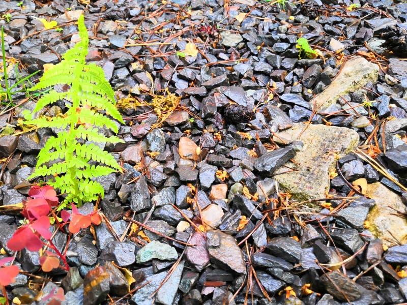 Zakończenie W górę Jaskrawego - zieleni, Mokrzy, Wyginający się Paprociowi liście z zmrokiem, Siwieją kamień zdjęcia stock