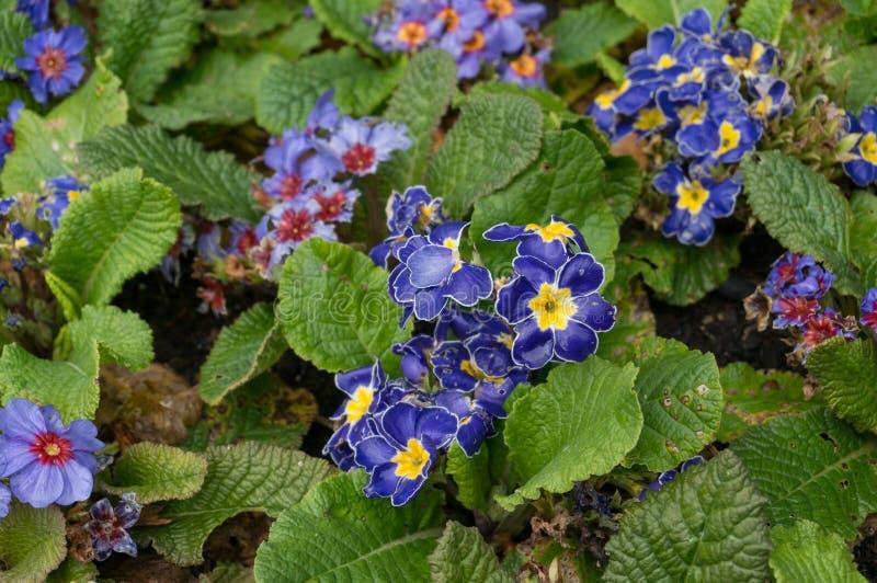 Zakończenie w górę jaskrawej błękitnej wiosny kwitnie na kwiatu łóżku w ogródzie zdjęcia royalty free