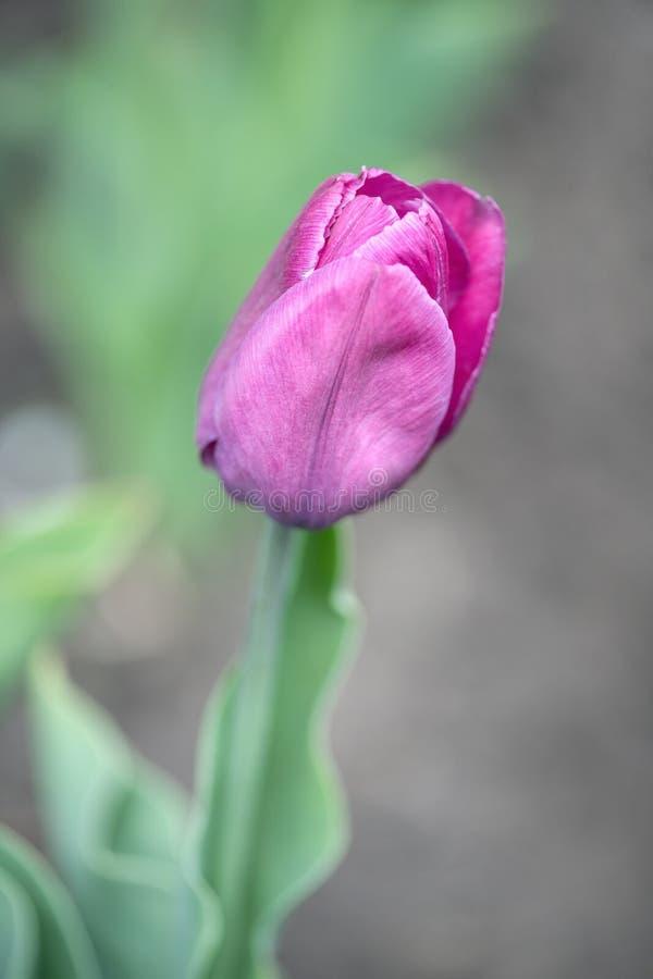 Zakończenie - w górę jeden purpurowego tulipanu w ogrodowym łóżku fotografia royalty free