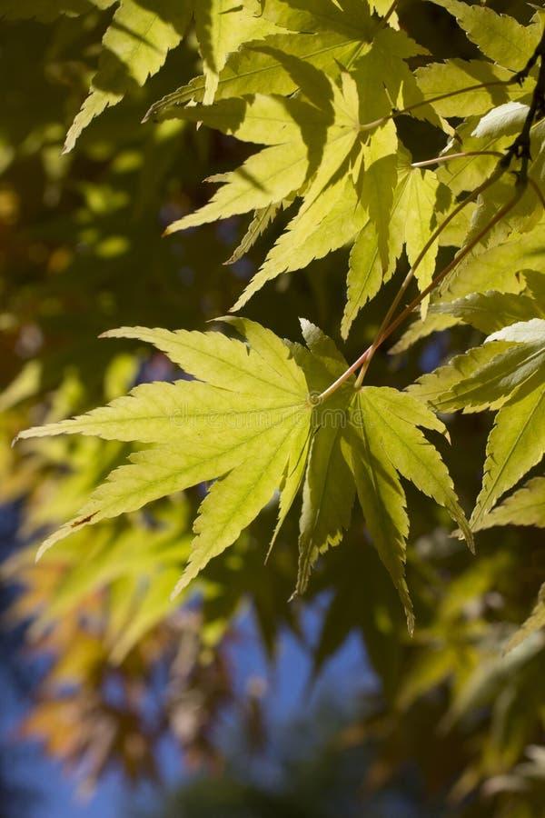 Zakończenie w górę klonowego drzewa w jesiennych colours zdjęcie royalty free