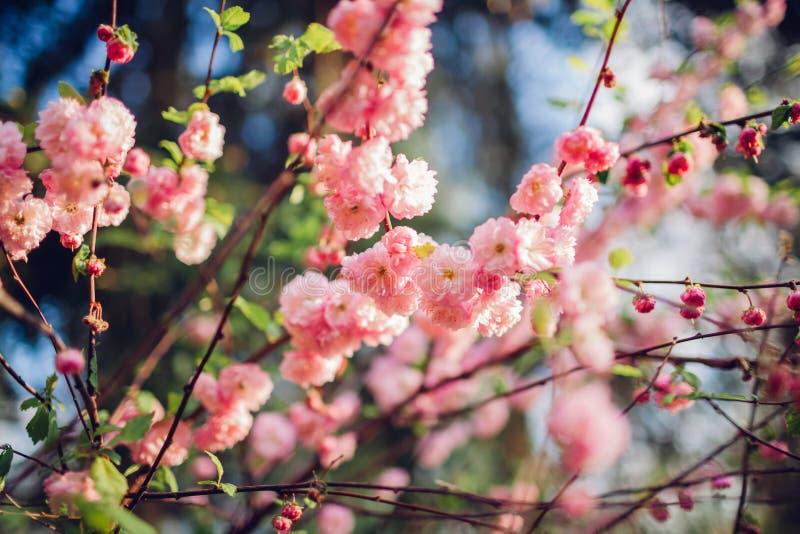Zakończenie w górę kwitnącego luiseania w wiosna ogródzie Kwitnąć różowych kwiaty migdałowy ostrze zdjęcie stock